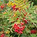 Vogelbeeren  (Sorbus aupucauria]