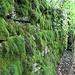 Die Mauern der Ruine Altlägern sind mit Moos überwuchert