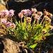 Erigeron venustus. Die Pflanze hat keinen Deutschen Namen.