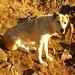 Der liebe Hirtenhund begleitete uns bei der Besteigung zu den höchsten Gipfeln Armeniens.