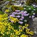 Herzblättrige Kugelblume (Globularia cordifolia) und Hufeisenklee (Hippocrepis comosa)