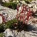 Abstieg vom Chälbersäntis zum Rotsteinpaß - der genügsame Alpen-Säuerling, auf 2300m in einer Felsspalte