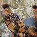 bisher noch nie gesehen - Schopfhühner? auf der Alp