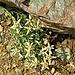 ein echter Altvordern unseres, aus Zentralasien eingewanderten,  Alpen-Edelweisses