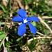 Frühlings-Enzian (<i>Gentiana verna</i>); auf der Wiese unterhalb vom Chellenchöpfli