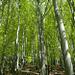 Es grünt der Gonzen Buchen in einer Reih' War der Förster pflonzen Im Mai: Frühlings Weih