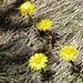 Steinbrech - erste Blumen nach dem Schnee