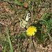 einer der unzähligen Schwalbenschwänze (Papilio machaon)