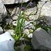 eine Zutat für`s Vesperbrot  (Allium montanum)