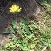 Anthyllis vulneraria. Fabaceae.<br /><br />Vulneraria comune.<br />Anthyllide vulnérarie.<br />Gewoenlicher Wundklee.<br />
