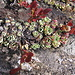Saxifraga paniculata. Saxifragaceae.<br /><br />Sassifraga alpina.<br />Saxifrage paniculée.<br />Trauben-Steinbrech.