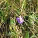Viola calcarata. Violaceae.<br /><br />Viola con sperone.<br />Pénsée epéronée.<br />Langsporniges Stiefmütterchen.
