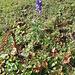 Aconitum compactum. Ranunculaceae.<br /><br />Aconito napello.<br />Aconit à inflorescences compacte.<br />Dichtblütiger Blau-Eisenhut.