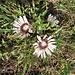 Carlina acaulis subsp. caulescens. Asteraceae.<br /><br />Carlina semplice.<br />Carline blanche.<br />Silberdistel.