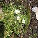 Cerastium alpinum L. Caryophillaceae  Peverina alpina. Céraiste des Alpes. Gewoenliches Alpen-Hornkraut.