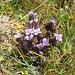 Gentiana campestris. Gentianaceae.<br /><br />Genziana campestre.<br />Gentiane champetre.<br />Feld-Enzian.<br />