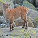 Tierisches Fotoshooting mit Steingeiss und Steinbockkitz