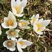 Krokusse - heute zu tausenden in Blüte