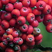 Früchte des Vogelbeerbaums