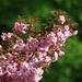 Japanese Cherry (Japanische Blütenkirsche, Prunus serrulata) in Fischenthal