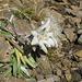 """Das einsame Edelweiss am Gipfel vom Engelberger Rockstock welches im Bericht von [u yak] auch schon <a href=""""http://www.hikr.org/gallery/photo1194275.html?post_id=68932#1"""">erwähnt</a> wurde"""