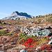 Leuchtende Teppiche der Alpen-Bärentraube (Arctostaphylos alpinus)