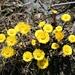 eine der ersten Blumen nach dem Schnee: der häufig auftretende, farbenprächtige Huflattich