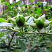 Unreife Früchte der Tollkirsche