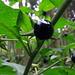 Früchte der Tollkirsche