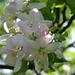 Obstblüte am Wegesrand