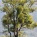 <b>Viscum album album. La diffusione di questa pianta è dovuta alla Tordela (Turdus viscivorus).</b>
