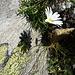 Im Schatten ihres Schattens: Alpen-Wucherblume am Weg zum Pass de Ganan