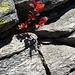...und herbstlich gefärbte Heidelbeerstaude am Passo del San Bernardino