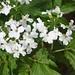 Fiederblättriger Zahnwurz (Cardamine heptaphylla).