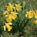 Gelbe Narzissen (Narcissus pseudonarcissus).