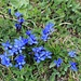 Auch im Jura gibt es Enziane! <br /><br />Frühlings-Enzian (Gentiana verna).