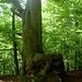 Ein Baum mit besonders knorrigem Wurzelwerk