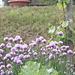 Erba cipollina in fiore con farfalla