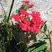 Diese sieht nach einer Primel aus; <i>Primula</i> spec.?