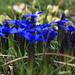 Spring Gentian (Gentiana verna, Frühlings-Enzian)