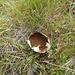 Hasen-Stäubling oder ein Verwandter - bemerkenswert ist der Standort auf ca. 2500 m