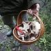 """<b>Dopo la cappella incontro due cercatori di funghi: hanno il cesto pieno di """"grigioni"""", così mi riferiscono. Hanno le lamelle, non immaginavo che fossero eduli.<br />Qualcuno mi sa dire il nome scientifico?</b>"""