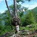 Aussätzige Buche wenig oberhalb Cadalom. [http://www.hikr.org/gallery/photo51193.html?post_id=6752#1 Hier ein 5 Jahre älteres Bild vom selben Baum]
