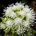Weisse Blühten