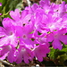Leim-Primel (Primula hirsuta)
