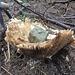 Forza della natura - fungo cresciuto con la pietra sopra