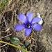 Gefranster Enzian - die 2 überzähligen Blütenblätter stehen ihm gut