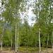 Birkenwald auf Pian Baree