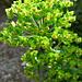 Wolfsmilch (Euphorbia characias)
