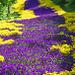 Hornveilchen-Teppich (Viola cornuta)